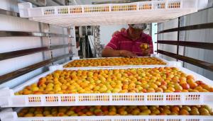 水果烘干机之新疆杏子烘干案例